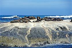 Cape Fur Seals At Seal Rock