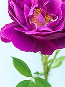 Rosa 'William Lobb' - moss rose