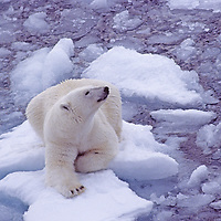 POLAR BEAR (Ursus maritimus) on small ice floe in Arctic Ocean north of Franz Josef Land, Russia. With global warming reducing polar ice, these animals are becoming endangered.
