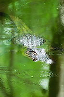 American Alligator in the Sweetwater Strand area of the Florida Everglades. This was taken in the beginning of mating season, when they tend to get a little aggressive.