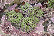 Snakelocks Anemone - Anemonia viridis