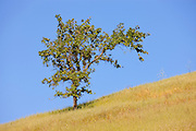 A tree that appears to be wind-swept stands at the summit of a rolling hill in the foothills of Mount Diablo near Clayton, California.