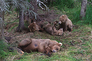 Bear 128 lays exhausted as her cubs play nearby.