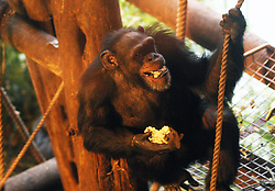 File photo dated 22/11/12 of a Chimpanzee. Chimpanzee super-strength is a myth, according to new research showing they are just over a third stronger than humans.