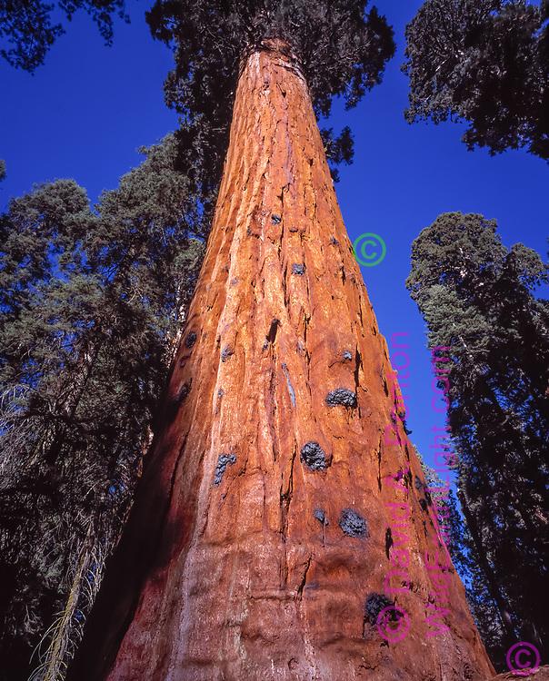 Upward view of giant sequoia tree trunk, Sequoia National Park, California, © David A. Ponton