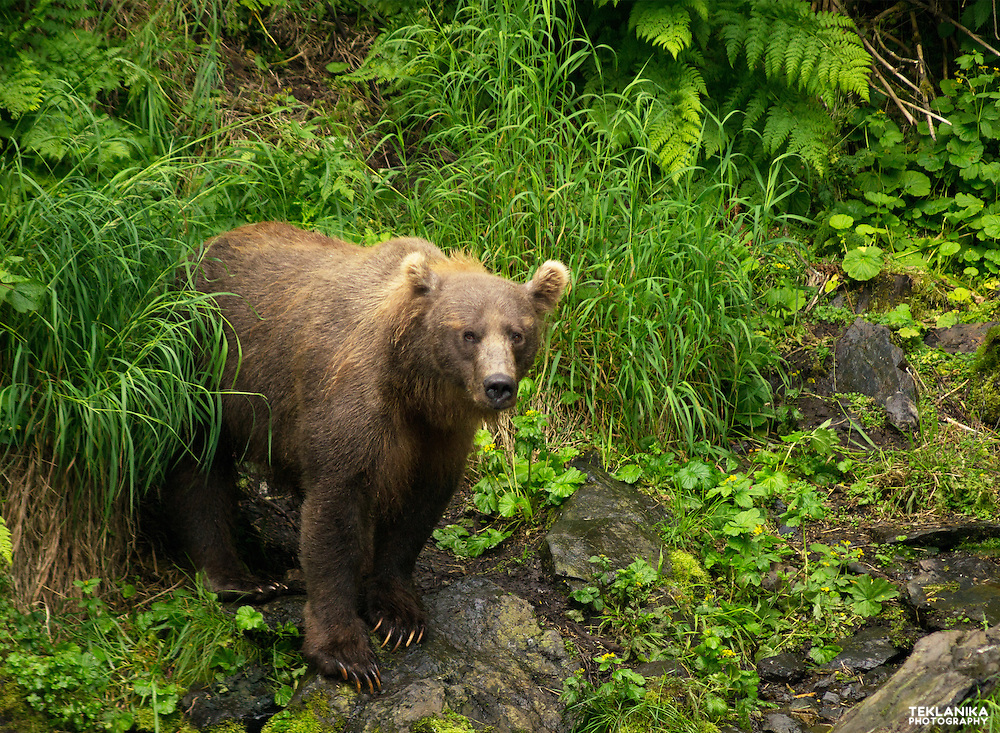 A mother brown bear keeps watch over her nearby cubs.
