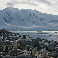 Fledgling Gentoo Penguins cavort on rocks near Damoy Point on Wiencke Island, Antarctica. Behind is the Neumayer Channel and mountains on Anvers Island.