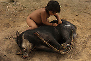 Huaorani Indian chid - Romelia Andy playing with hunted peccary. Gabaro Community. Yasuni National Park.<br /> Amazon rainforest, ECUADOR.  South America<br /> The children play with the dead animals that their fathers bring in from hunting. Romelia is even picking off the ticks.<br /> This Indian tribe were basically uncontacted until 1956 when missionaries from the Summer Institute of Linguistics made contact with them. However there are still some groups from the tribe that remain uncontacted.  They are known as the Tagaeri & Taromenani. Traditionally these Indians were very hostile and killed many people who tried to enter into their territory. Their territory is in the Yasuni National Park which is now also being exploited for oil.