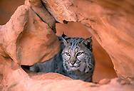 Bobcat looking through hole in sandstone formation, [captive, controlled conditions] © David A. Ponton