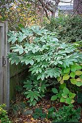 Fatsia japonica 'Variegata' syn. Aralia sieboldii var. variegata growing in a shady corner
