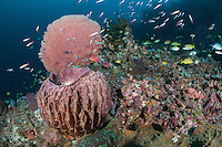 Reef Slope with Barrel Sponge and Gorgonian, Reef Fishes..Shot in Indonesia..