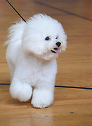Bichon Frise (curly lap dog) is a small breed of dog of the Bichon type. The Bichon Frise is a member of the Non-Sporting Group of dog breeds in the United States and a member of the Toy Dog Group in the United Kingdom.