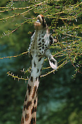 Giraffe eating acacia leaves, Serengeti National Park, Tanzania
