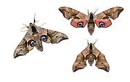 69.002 (1980)<br /> Eyed Hawk-moth - Smerinthus ocellatus