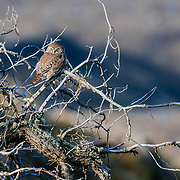 An austral pygmy owl (Glaucidium nanum) sitting on a tree, Torres del Paine National Park, Patagonia, Chile, South America