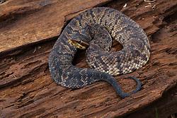 Agkistrodon piscivorus leucostoma, Cottonmouth water moccasin snake, Texas, cottonmouth, pit viper, poisonous, reptile, venomous