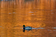 Autumn color reflects on a small pond as a Mallard duck feeds in the waters