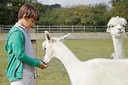 Edward, 12, feeding the alpacas at Hares Farm. CREDIT: Vanessa Berberian for The Wall Street Journal<br /> UKFARM-Hares Farm