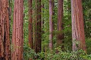 Redwood trees in forest, Big Basin State Park, Santa Cruz County, California