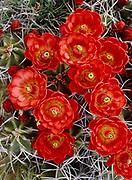 Claret-cup hedgehog cactus, Echinocereus triglochidiatus, south of Chaco Canyon, New Mexico.
