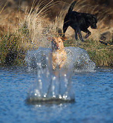 © London News Pictures. 22/02/2014. London, UK.  A dog chasing a stick in to a pond at sunrise at Richmond Park in West London. The south of England is experiencing warm weather for the time of year and sunshine following weeks of rain and flooding.  Photo credit: Ben Cawthra/LNP