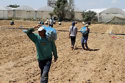 30.04.2015, Rafah, PSE, Kartoffel Ernte in Palästina, im Bild Bauern und Arbeiter bei der Kartoffel Ernte auf einem Feld // Palestinian farmers harvest the potatoes crop, in Rafah in the southern Gaza strip, Palestine on 2015/04/30. EXPA Pictures © 2015, PhotoCredit: EXPA/ APAimages/ Abed Rahim Khatib<br /> <br /> *****ATTENTION - for AUT, GER, SUI, ITA, POL, CRO, SRB only*****