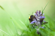 Bumble bee on a bugle flower, Monks Dale, Peak District National Park