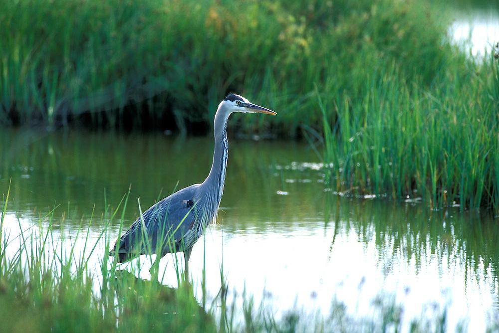 Blue Heron, Palo Alto Wetlands.