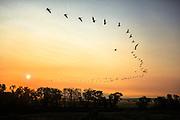 Pelicans over Montana's Jefferson River