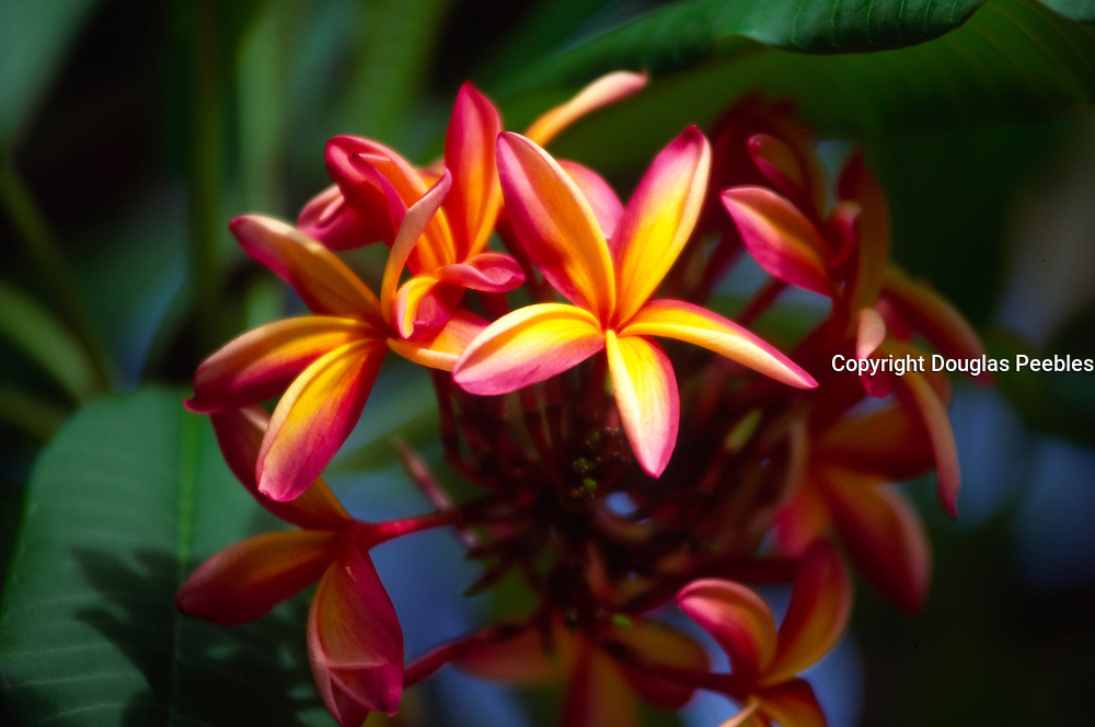 Plumeria flower, Hawaii<br />