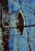 Barred Owl in tree in winter - Mississippi.