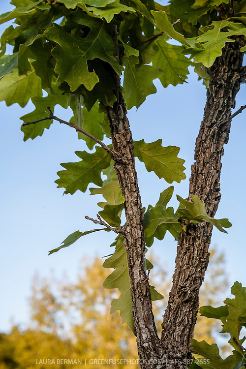 The characteristic textured bark and leaves of a young Bur Oak tree against  a clear blue sky. (Quercus macrocarpa)