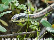 Coast Garter Snake, Thamnophis elegans terrestris