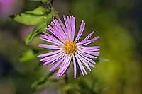 Throughout the Southeastern United States, climbing aster can be found in just about every wetland of low elevation, often in great showy displays of pink or lavender, fading eventually to nearly white. In Florida, they can be found in bloom all year long, such as this one near Gainesville, Florida.