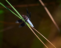 Dragonfly. Image taken with a Nikon D810a camera and 70-300 mm VR lens