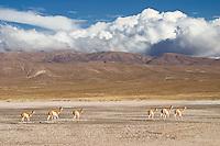 VICUÑAS (Vicugna vicugna), SALINAS GRANDES, PROV. DE JUJUY/SALTA, ARGENTINA