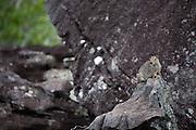 Sao Goncalo do Rio Preto_MG, Brasil...Parque Estadual do Rio Preto em Sao Goncalo do Rio Preto, Minas Gerais. Na foto um prea...Estadual Park of Rio Preto in Sao Goncalo do Rio Preto, Minas Gerais. In this photo a cavia aperea...Foto: JOAO MARCOS ROSA / NITRO