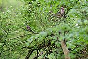 Jay, Yaybird (Garrulus glandarius); The Biosphere Reserve 'Niedersächsische Elbtalaue' (Lower Saxonian Elbe Valley), Germany | Eichelhäher (Garrulus glandarius); Eichel-Häher, Häher. Niedersächsische Elbtalaue, Deutschland