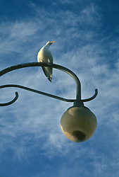 Bird sitting on a lamppost against a blue sky with some clouds.