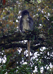 September 7, 2016 - Jakarta, Jakarta, Indonesia - The release of primates Javan (Presbytis comata) back to their natural habitat in the forest area of western Java. Surili returned a species endemic to West Java and some parts of Central Java is an animal that is rare and need to be protected and preserved its existence .Surili known as primates sensitive and shy has the shape and body size ranges between 42-61 cm. Proportionally tail Surili generally longer than the body length ranging from 50-85 cm. Surili adult body weight on average between 5-8 kg and have a body color of gray on the back (dorsal), white on the front (ventral) and dark gray colored crest (Credit Image: © Denny Pohan via ZUMA Wire)