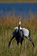 White-naped Crane, Grus vipio, displayin on grass in Inner Mongolia, China