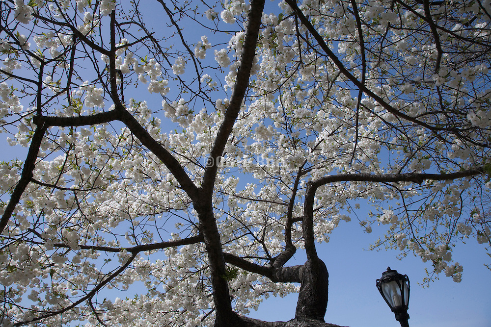abstraction with cherry blossom against a blue sky