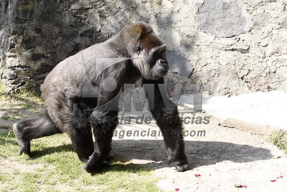 CALIMAYA, México.- La gorila Arila, que se encontraba como préstamo en el zoológico de Chapultepec para aparearse con el gorila Bantú,  regreso al zoológico de Zacango, después de 5 años los visitantes de este lugar vuelven  a ver a la gorila. Agencia MVT / Crisanta Espinosa. (DIGITAL)
