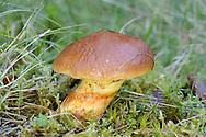 Larch Bolete - Suillus grevillei