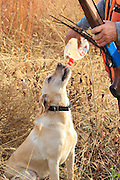 Yellow Lab and hunter take time out for a water break during a warm-weather pheasant hunt in South Dakota.