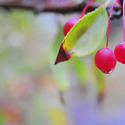 9/28/10 -- Acadia National Park, Maine. Choke Cherries.  Country Walkers Sept 26 2010 tour.   Photo by Roger S. Duncan.