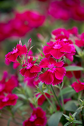 Dianthus barbatus 'Festival Deep Violet' - Festival Series. Sweet William