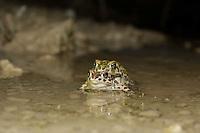 European Green toad, Bufo viridis, Wechselkröte, near Nikopol, Bulgaria