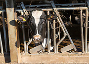 Head of cow metal grill in barn over winter feed outside, Cherhill, Wiltshire, England, UK