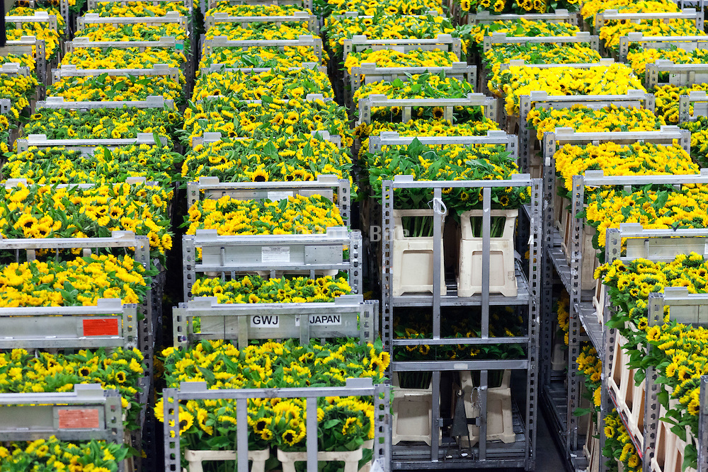 sunflower tranport inside the large warehouse hall of FloraHolland Aalsmeer Netherlands